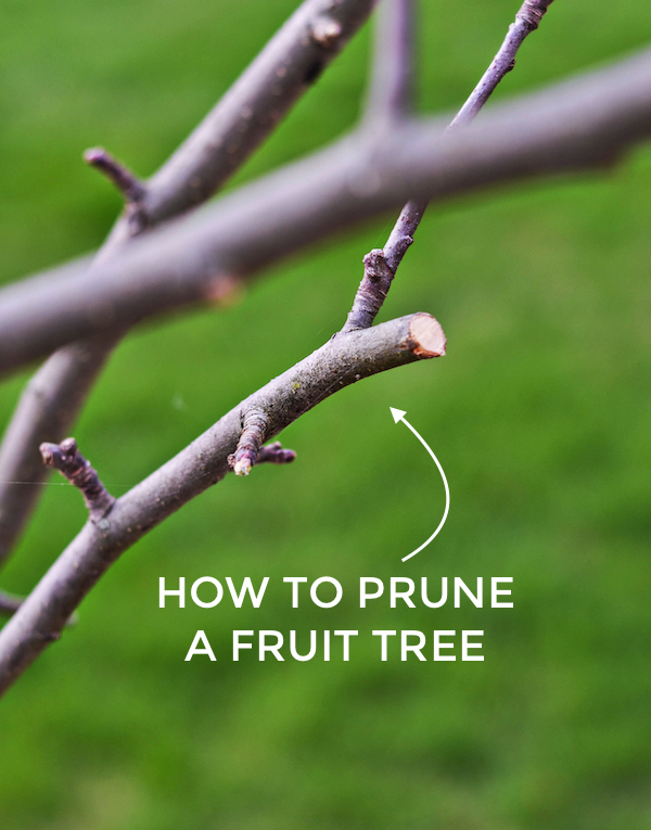 HOW TO PRUNE A FRUIT TREE from Rachel Schultz